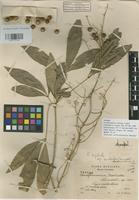 Isotype of Forchhammeria matudae Lundell [family CAPPARACEAE]