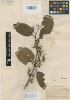 Isotype of Prunus guatemalensis I.M. Johnst. [family ROSACEAE]