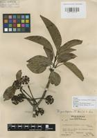 Isotype of Dendropanax hondurensis M.J.Cannon & Cannon [family ARALIACEAE]