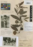 Holotype of Persea parvifolia L.O Williams [family LAURACEAE]