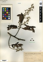 Isotype of Machaerium cobanense Donnell Smith [family FABACEAE]