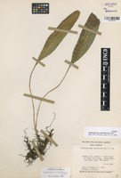 Isotype of Elaphoglossum clewellianum Mickel [family DRYOPTERIDACEAE]