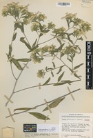 Isotype of Trixis parviflora C.E. Anderson [family ASTERACEAE]