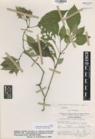 Isotype of Lophostachys chiapensis Acosta [family ACANTHACEAE]