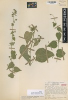 Isotype of Abutilon demissum Fryxell [family MALVACEAE]