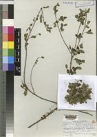 Isotype of Phyllanthus borenensis M.Gilbert not on sheet not on sheet [family EUPHORBIACEAE]