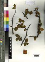 Type of Commiphora ciliata Vollesen not on sheet not on sheet [family BURSERACEAE]