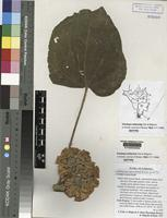 Isotype of Dombeya kefaensis Friis and Bidgood not on the sheet not on the sheet Not on the sheet [family STERCULIACEAE]