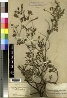 Isotype of Indigofera schimperi Jaub. and Spach not on sheet not on sheet [family FABACEAE]