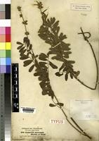 Isotype of Tephrosia interrupta Hochst. and Steud. ex Engl. not on sheet not on sheet [family FABACEAE]