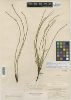Syntype of Equisetum variegatum Schleich. ex F. Weber & D. Mohr var. nelsonii A. A. Eaton [family EQUISETACEAE]