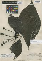 Holotype of Tocoyena williamsii Standl. [family RUBIACEAE]