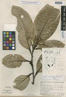Isotype of Nectandra guadaripo Rohwer [family LAURACEAE]