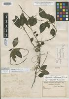 Holotype of Peperomia disparifolia Trel. [family PIPERACEAE]