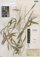 Isotype of Syntherisma aequatoriensis Hitchc. [family POACEAE]