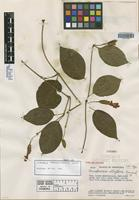 Isotype of Mendoncia albiflora Leonard [family ACANTHACEAE]