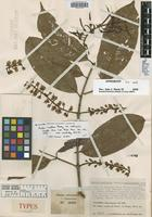 Holotype of Marila laxiflora Rusby var. multinervia Cuatrec. [family CLUSIACEAE]