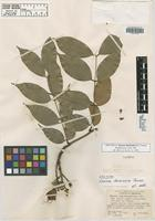 Isotype of Eperua duckeana R.S. Cowan [family FABACEAE]
