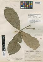 Isotype of Quercus aguana Trel. [family FAGACEAE]