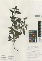Holotype of Nama linearias D. L. Nash [family HYDROPHYLLACEAE]