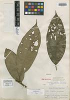 Isotype of Endlicheria metallica Kosterm. [family LAURACEAE]
