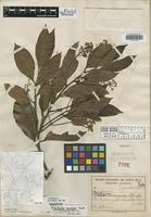 Holotype of Nectandra ramonensis Standl. [family LAURACEAE]