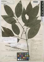 Holotype of Piper eldoradens Trel. [family PIPERACEAE]