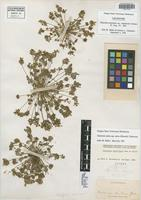 Lectotype of Claytonia perfoliata Donn ex Willd. var. amplectens Greene [family PORTULACACEAE]