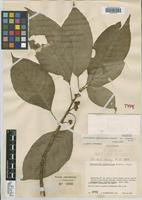Holotype of Psychotria palestinae Standl. [family RUBIACEAE]