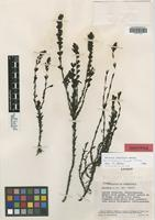 Isotype of Bartsia tachirensis Pennell [family SCROPHULARIACEAE]