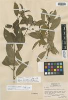 Isotype of Solanum vacciniiflorum [family SOLANACEAE]
