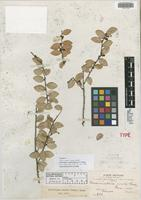 Isotype of Disterigma ovatum S. F. Blake [family ERICACEAE]