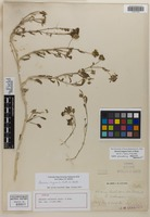 Holotype of Abronia carletoni J. M. Coult. & Fisher [family NYCTAGINACEAE]