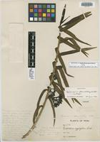 Isotype of Epidendrum pleurobotrys Schltr. [family ORCHIDACEAE]