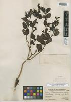 Holotype of Pilea verrucosa Killip [family URTICACEAE]