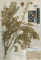 Isotype of Chuquiraga johnstonii Tovar [family ASTERACEAE]