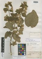 Holotype of Lippia kellermanii Greenm. [family VERBENACEAE]