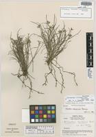 Holotype of Elleanthus tillandsioides Barringer [family ORCHIDACEAE]