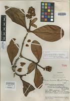 Holotype of Clusia lusoria Standl.&Steyerm. [family CLUSIACEAE]