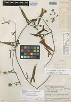 Holotype of Ipomoea anisomeres B. L. Rob. & Bartlett var. sagittiformis L. O. Williams [family CONVOLVULACEAE]