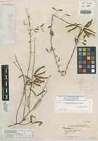 Holotype of Mimosa piscatorum Barneby [family FABACEAE]