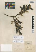 Isotype of Stryphnodendron discolor Benth. [family FABACEAE]