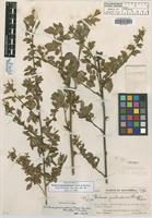 Holotype of Pachecoa guatemalensis Standl. & Steyerm. [family FABACEAE]