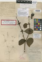 Lectotype of Phoradendron northropiae Urb. [family LORANTHACEAE]