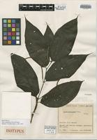 Isotype of Piper unillanum Trel. & Yunck. [family PIPERACEAE]