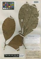 Holotype of Lucuma calistophylla Standl. [family SAPOTACEAE]