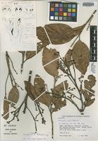 Holotype of Nectandra utilis Rohwer [family LAURACEAE]