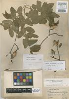 Isolectotype of Cedrela occidentalis C. DC. & Rose [family MELIACEAE]