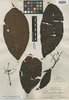 Isotype of Miconia panicularis Gleason [family MELASTOMATACEAE]