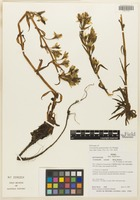 Holotype of Gentianella galtonioides J. S. Pringle [family GENTIANACEAE]
